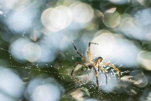 araignée dans la toile d'araignée