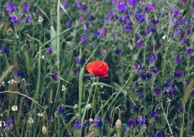 plante fleur rouge