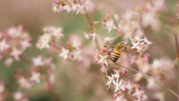abeille sur fleurs roses