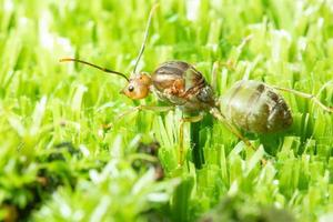 fourmi verte dans l'herbe