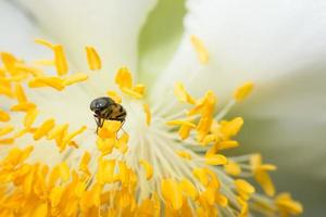 abeille sur une fleur jaune photo