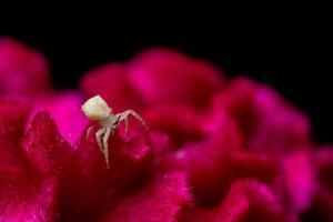 araignée blanche sur une fleur rouge photo
