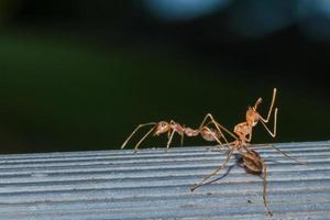fourmi rouge, photo en gros plan
