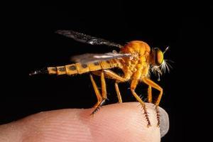 voleur mouche, photo macro