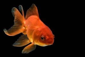 poisson rouge sur fond noir photo