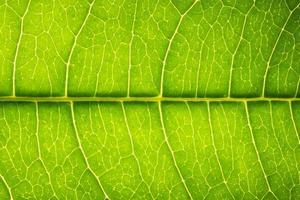 feuille verte, photo en gros plan