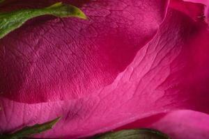 belles roses rouges, gros plan photo