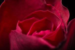 belles roses rouges, gros plan