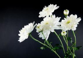 gros plan, de, chrysanthèmes blancs