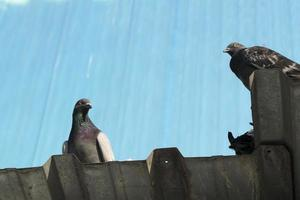 pigeons sur un toit en aluminium photo