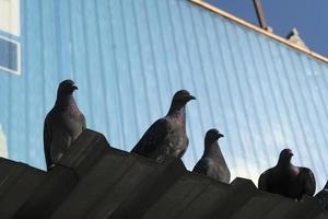 pigeons sur un toit en aluminium avec fond bleu photo