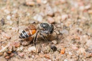 abeille se nourrissant sur le sol