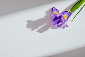 Fleur d'iris violet sur fond blanc avec espace copie