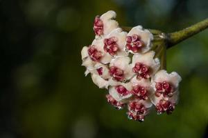 fleurs de hoya, photo en gros plan