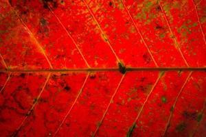 fond de feuille rouge