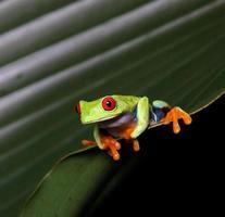 grenouille d'arbre aux yeux rouges photo