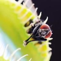 vénus flytrap gros plan avec mouche prise