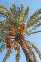 palmier contre un ciel bleu photo