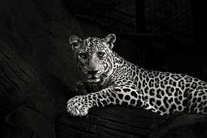 photo en niveaux de gris de léopard couché