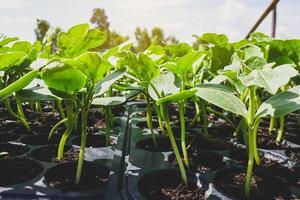 Petites plantes de pastèque poussant dans un jardin photo