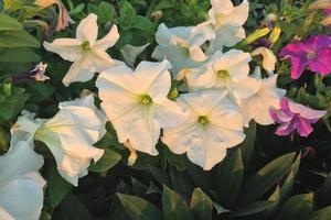 Fleurs de pétunia blanc dans un jardin photo