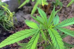 gros plan, de, a, plante cannabis