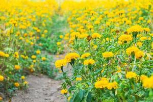 fleurs jaunes dans un pré photo