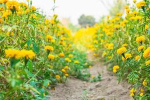 champ de fleurs jaunes photo