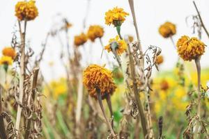 gros plan, de, fleurs jaunes photo