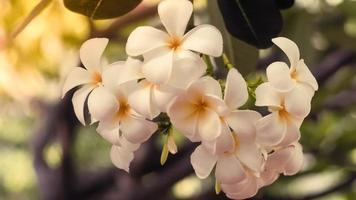 fleurs de plumeria blanches photo