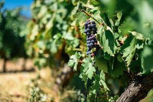 Vignobles de la vallée du Douro, Portugal photo