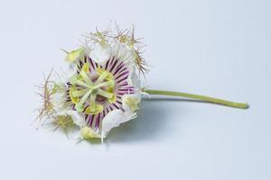 fleur violette et blanche sur fond blanc