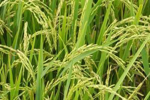 champ de riz vert gros plan