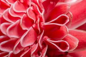 gros plan de pétales de fleur rose