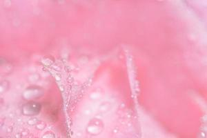 gouttes d'eau sur les pétales de rose