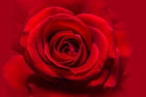 gros plan rose rouge photo