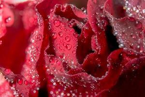 gouttes d'eau sur une rose rouge
