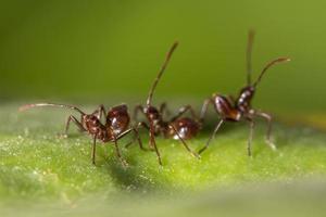 fourmis brunes sur une feuille