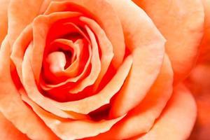 fond rose orange