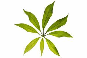 feuilles sur fond blanc