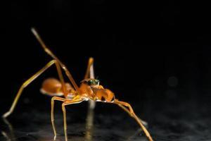 araignée sauteuse en forme de fourmi kerengga