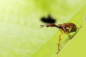 insecte curculionoidea sur une feuille photo