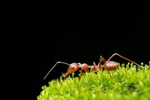 fourmi dans l'herbe