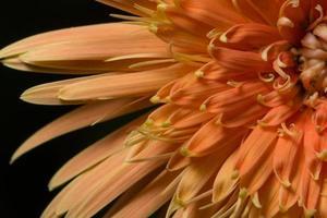 fond de macro fleur orange