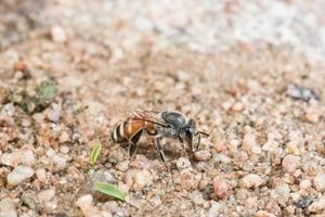 abeille au sol