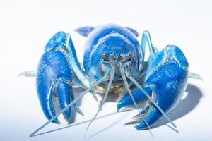 Destructeur de cherax écrevisses bleu sur fond blanc