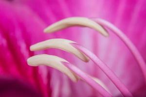 gros plan de pollen rose