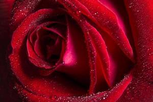 gouttes d'eau sur la rose