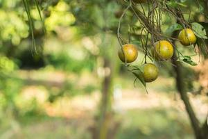 oranges sur l'arbre