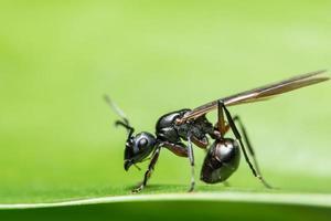 fourmi avec ailes, gros plan photo